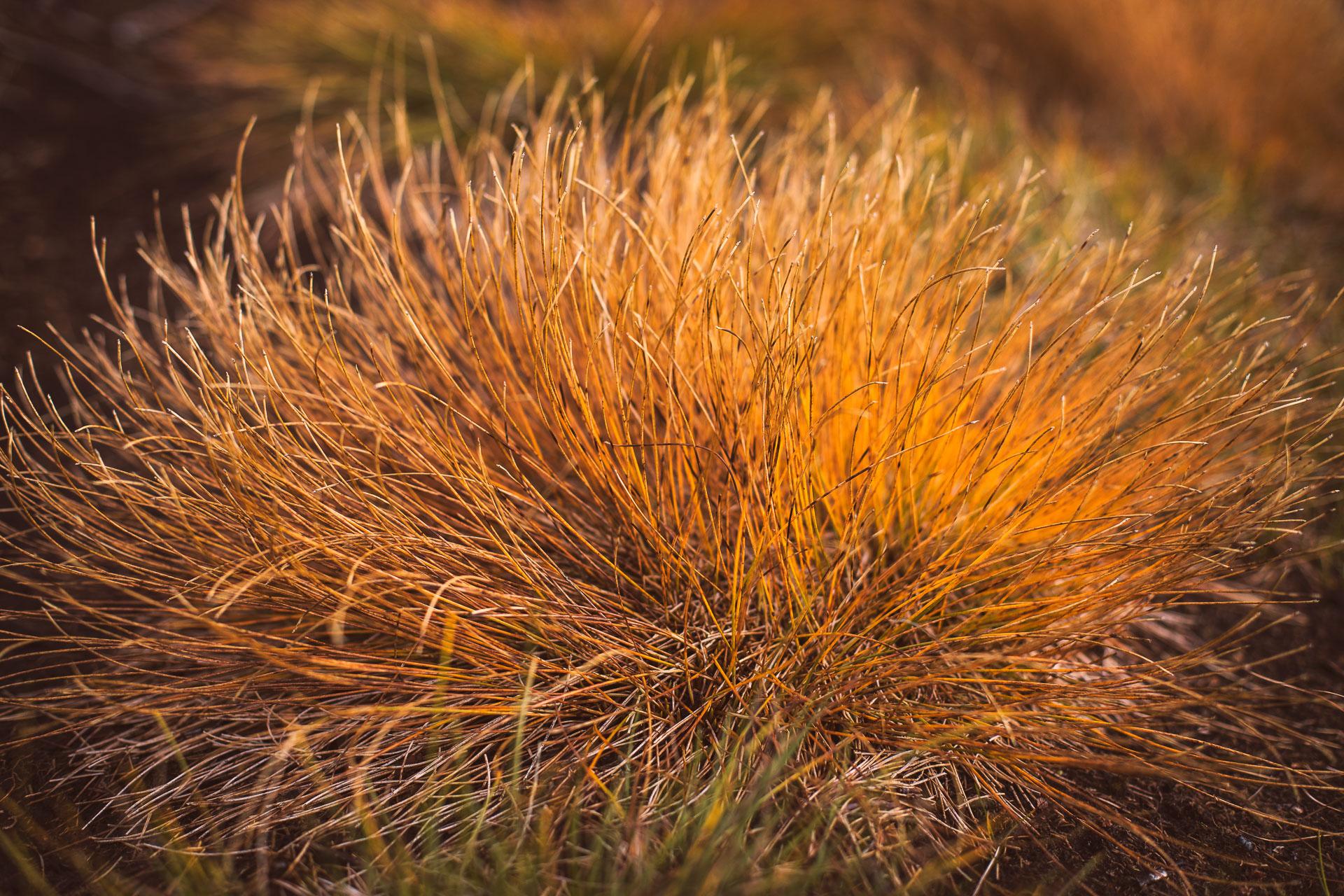 Höstgräs